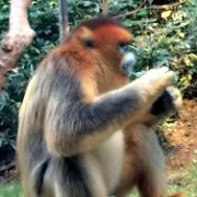 Animals in China - Golden Monkey