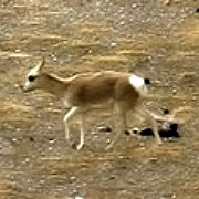 Animals in China - Tibetan Antelope