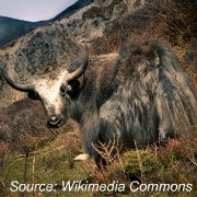 Animals in China - Yak