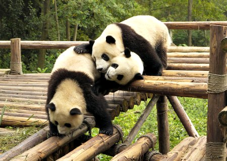 Playful Pandas at the Chengdu Breeding Center