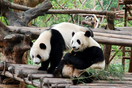 To Chengdu With Children More Than Giant Pandas