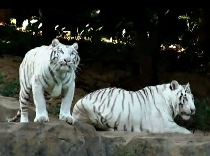 Safari on Wheels - White Tigers