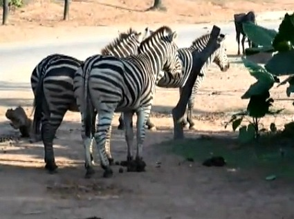 Safari on Wheels - Zebras