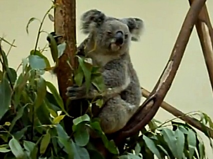 Chimelong Safari Park - Koala Exhibit