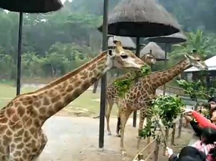 Chimelong Safari Park - Feeding Giraffes