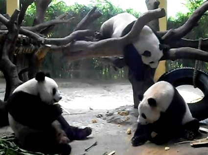 Pandas en el Parque Safari Chimelong