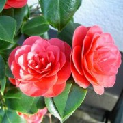 Plants in China - Camellia