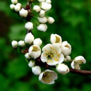 Plants in China - Plum