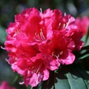 Plants in China - Rhododendron