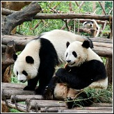 China Travel:Pandas In Chengdu