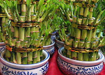 chinese new year foods lucky bamboo