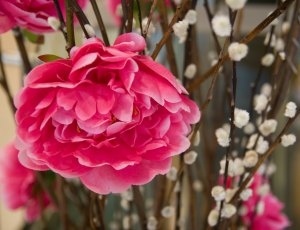 Flowers used to decorate for Chinese New Year: Peony