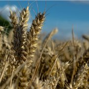 China Economy GDP - Agricultural products: wheat