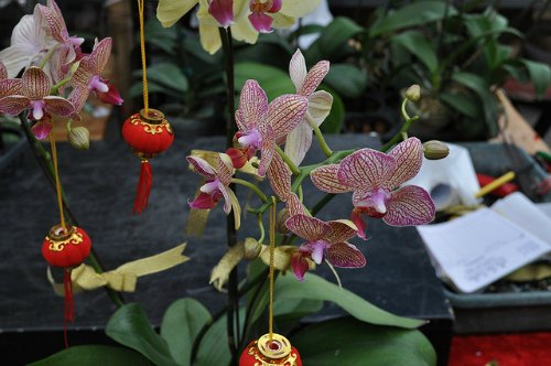 Orchids and decorations for the spring festival at the HK flower market