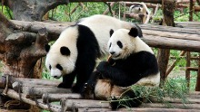 Panda and Baby in Chengdu