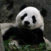 Animals in China - Giant Panda