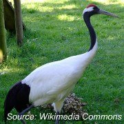 Animals in China - Red-crowned Crane