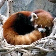 Animals in China - Red Panda