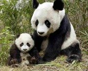 Giant Panda and baby at Bifengxia Reserve Chengdu China