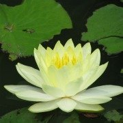 Plants in China - Lotus