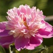 Plants in China - Peony