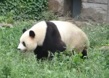 Giant Panda at Beijing Zoo