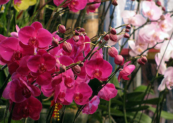 Flowers for Chinese New Year - Orchids