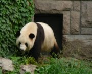 Giant Pandas at Beijing Zoo